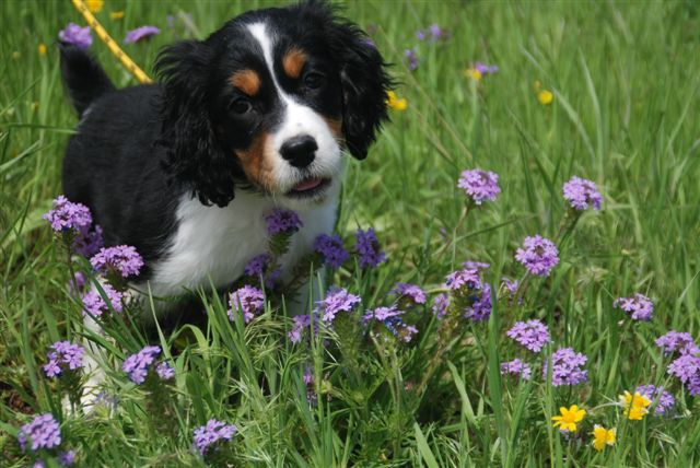 Winterwood English Springer Spaniels - Tri-color Litter Pictures